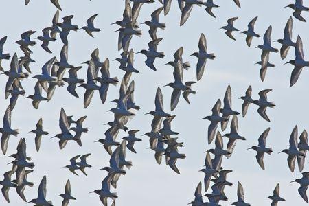 飛行中のシギ咳の群れ