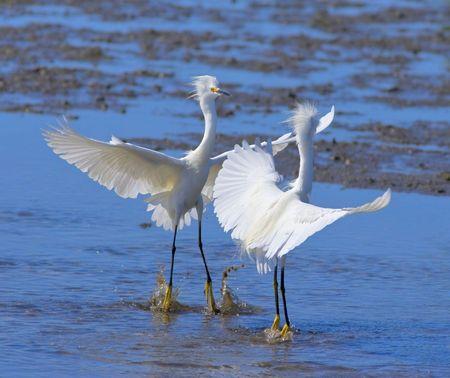 territorial: territorial dispute; egret are fighting