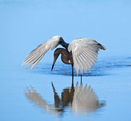 Reddish Egret hunting by shading the water Stock Photo