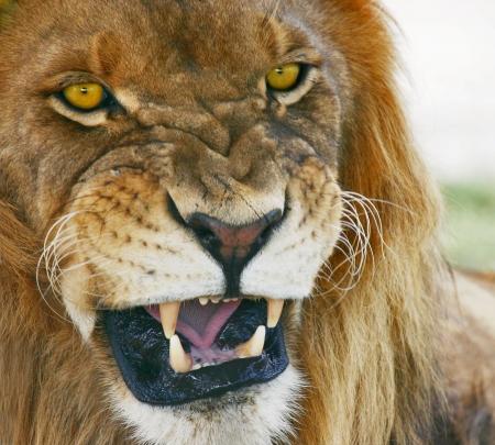 panthera: Bocca di giungla. Leone africano, Panthera Leo.   Archivio Fotografico