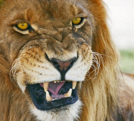 not open: Jungle mouth. African Lion, Panthera Leo.   Stock Photo