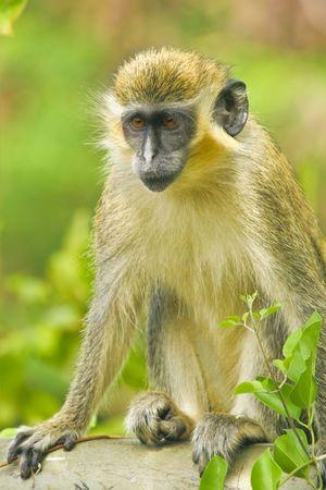 Scar face. Wild green Barbados monkey. Not captured. Stock Photo