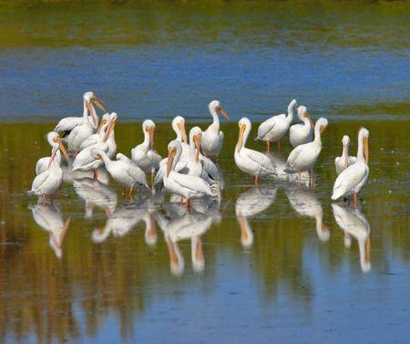 白いペリカンの群れ 写真素材