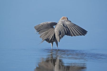 Reddish egret look above the wing photo