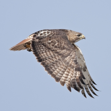prey: Hawk. Red-tailed Hawk, adult, in flight. Buteo jamaicensis.