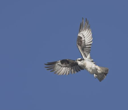 osprey in flight twist, Pandion haliaetus. With copy space for additions. photo