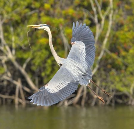 Heron, great blue heron building nest photo