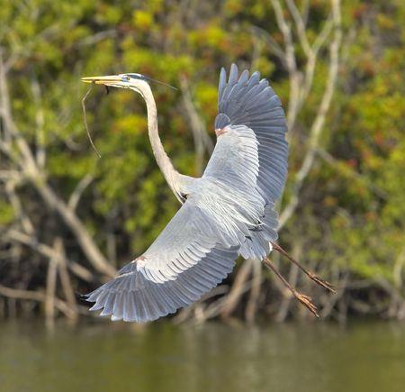 airone: Heron, nidificano aironi blu di grande edificio  Archivio Fotografico