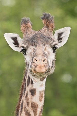 streight: Giraffe  Stock Photo