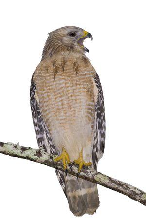 shouldered: Hawk