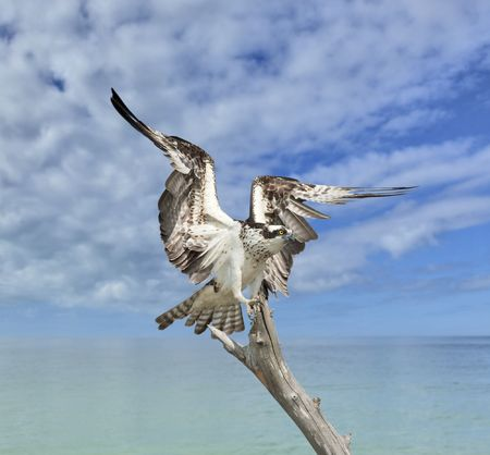 osprey: Osprey, Pandion haliaetus. Florida.