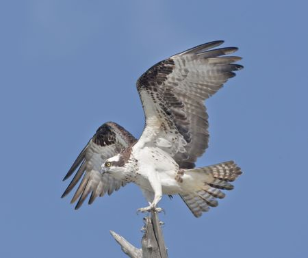 raptor: Osprey. Powerful Osprey