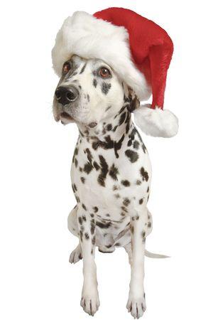 Dalmatian in Santa Claus hat.
