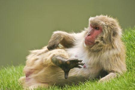 Monkey scratching her leg Stock Photo