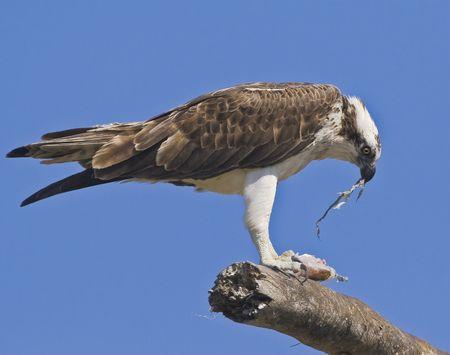 osprey: osprey eating fish