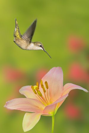 Hummingbird. Hummer howering above flower, lat. name - Archilochus colubris Stock Photo