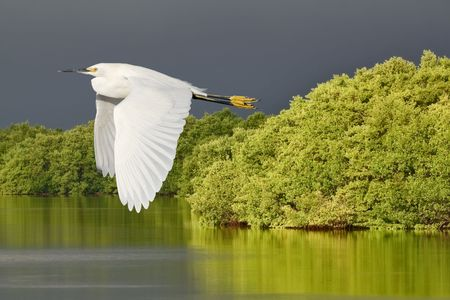 ding: Egret. Snowy Egret in flight over Ding Darling National Wildlife Refuge, Florida. Stock Photo