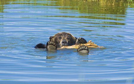 bathing Bleack bear in hot summer day. photo