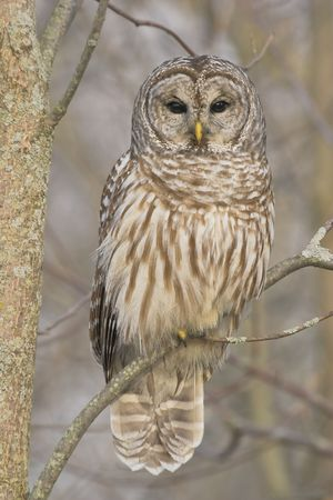 Barred Owl Stock Photo - 7128356