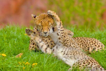 cheetah cub: I love my mamy. Cheetah cub caddling with his mam.