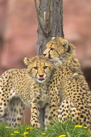 Cheetah cubs teenagers communicating