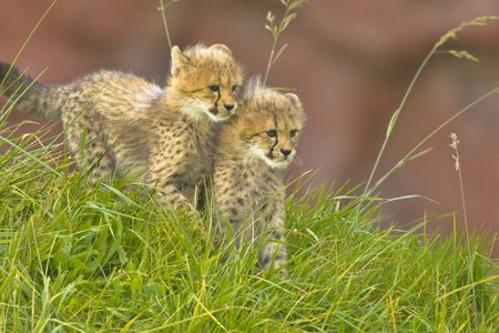Cheetah cubs side by side Stock Photo