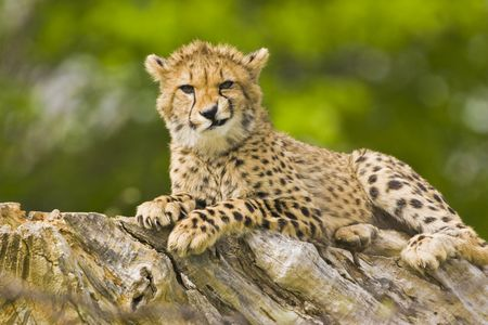 Young cheetah making faces Stock Photo