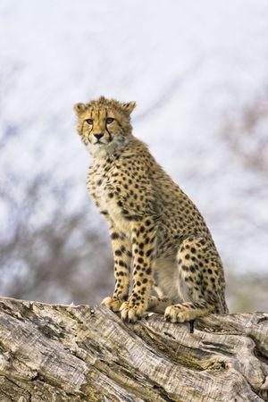 Young cheetah sitting Reklamní fotografie