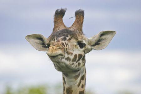 sceptical: Giraffe. Sceptic giraffe.