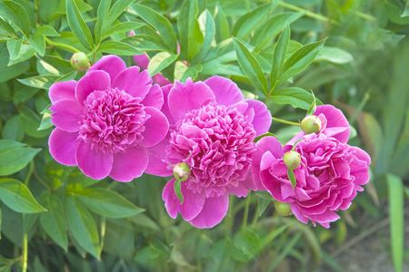 Pion - garden flower. Stock Photo