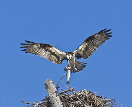 additions: osprey with fish above nest, room for additions