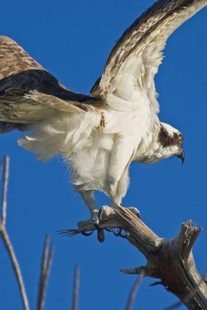 osprey: osprey taking off Stock Photo