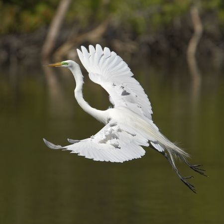 Great egret in  flight photo