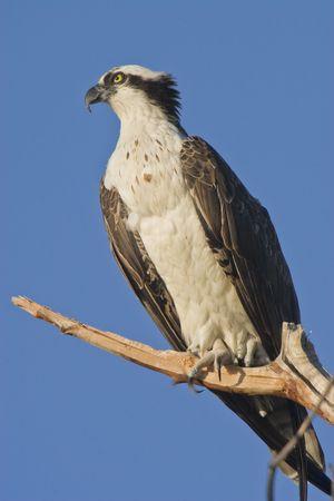 osprey: hunting osprey