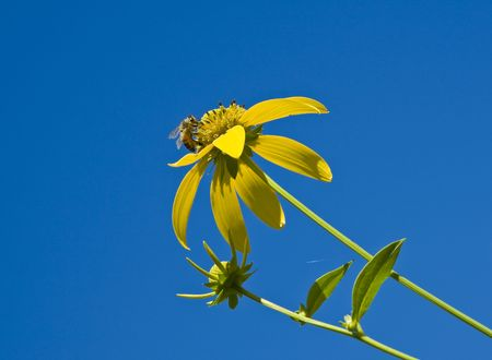 clse up: Rough sunflower