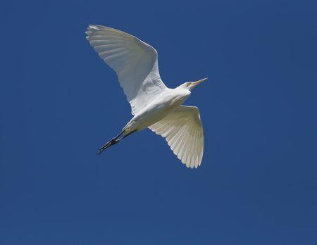 大きい白鷺、ラテン名 - アルデーア アルバ;飛行中の Casmerodius アルバス