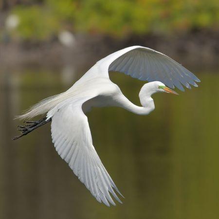wing span: Great Egret turning to land Stock Photo