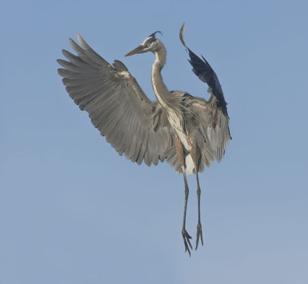 Great Blue Heron in flight photo