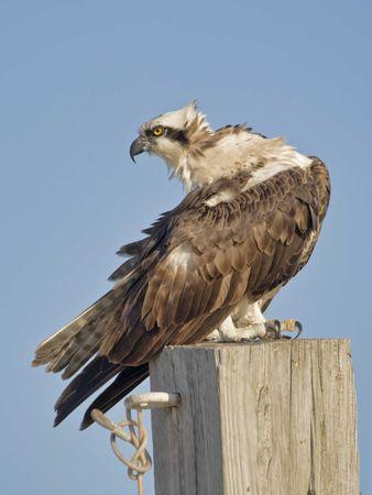 osprey: Osprey watchful Stock Photo