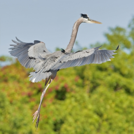 Great Blue Heron, Dancing in the air