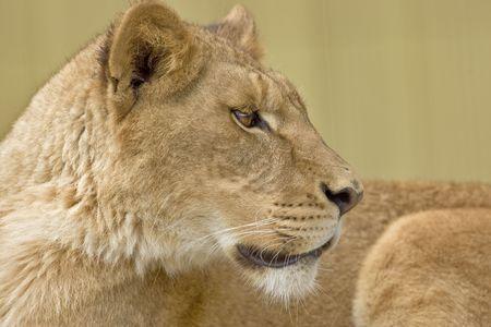 profile: african lion female  profile Stock Photo