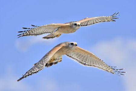 shouldered: Red shouldered hawks are flying