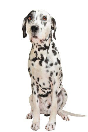Dalmatian is  wondering Stock Photo