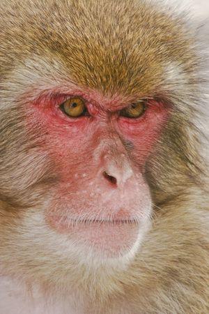 japanese  macaque portrait