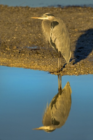 Great Blue heron standing on shore highlighted by early morning sun. Latin name - Ardea herodias. photo