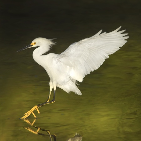 tiptoes: Snowy Egret in flight, on tip-toes running on the water. Latin name - Egreta tula.