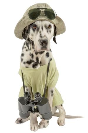 Dalmatian traveler. Acting dog. Isolated on white. Stock Photo