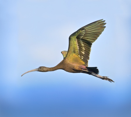 Glossy Ibis in flight. Latin name -Plegadis falcinellus. photo