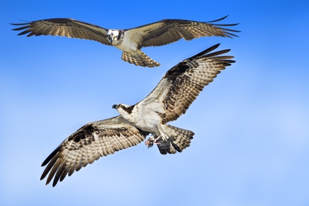Ospreys couple in flight. Latin name - Pandion haliaetus. With copy space on right.