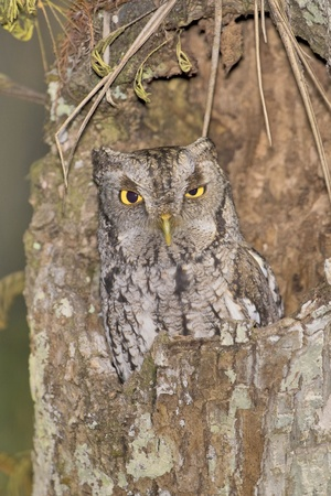 Eastern Screech-Owl in his habitat blending with surroundings due to  natural masking. Latin name -  Otus asio. photo